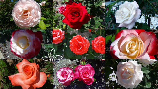 Ringling Mansion Rose Garden